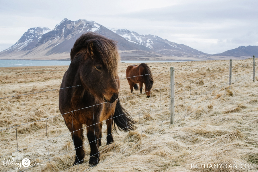 The horses in Iceland