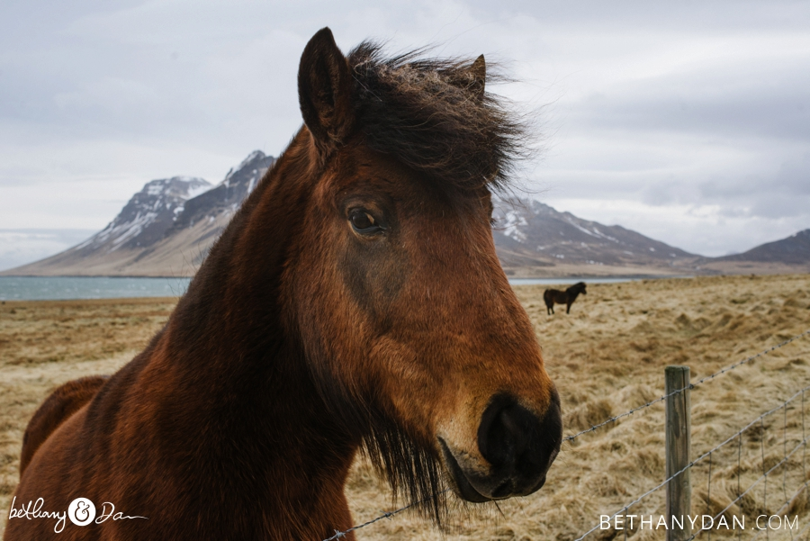 A horse in Iceland